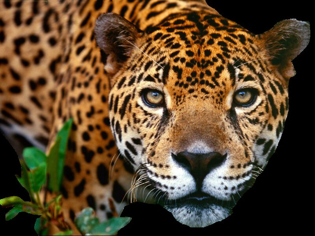 jaguar_close_png_by_digitalwideresource-d4ldkbg