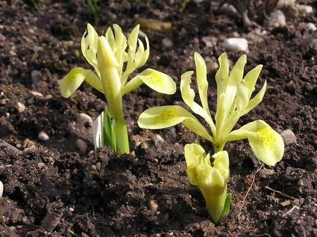 Iris winogradowii