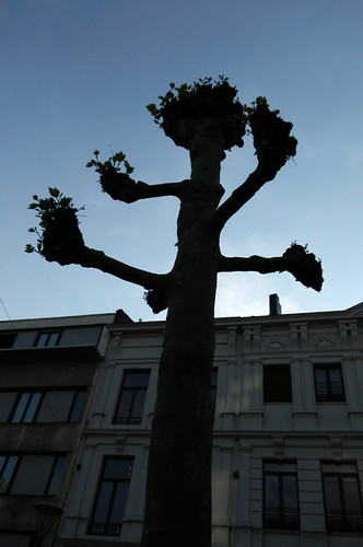 Strange Belgian Tree in Spring