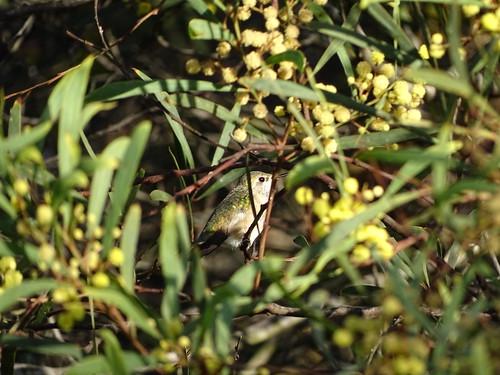 Calliope female at Devereux Lagoon