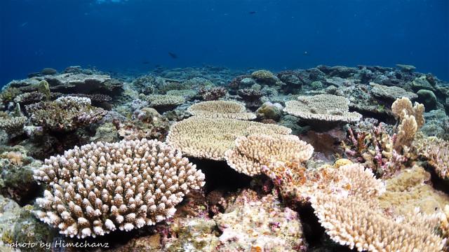 黒島のサンゴ、急成長中です♪