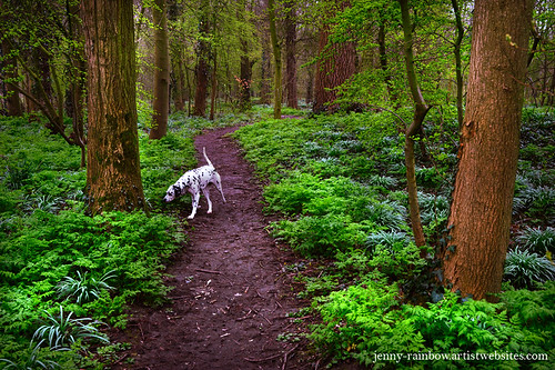Dalmatian In the Spring Woods