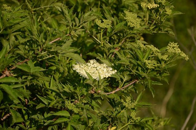 Sambucus nigra et cultivars - sureau noir - Page 2 17320887681_bf247a562d_z