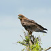 Small photo of Bateleur (Terathopius ecaudatus) juvenile