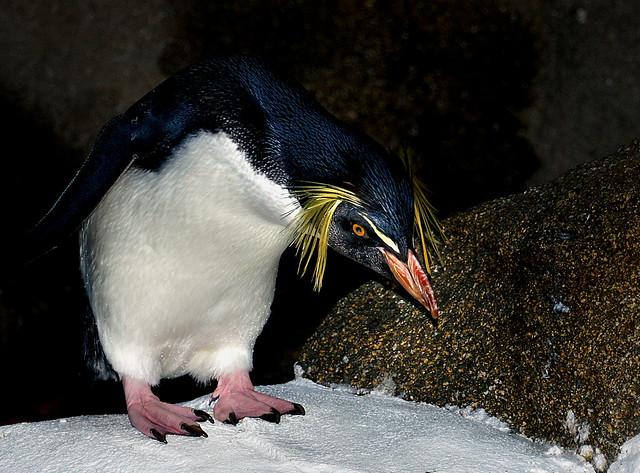 Rockhopper Penguin.Calgary Zoo.