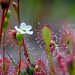 Sundew (Drosera intermedia) by zoomleeuwtje