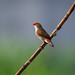 Orange-cheeked Waxbill  .  橙 頰 梅 花 雀  .  1041