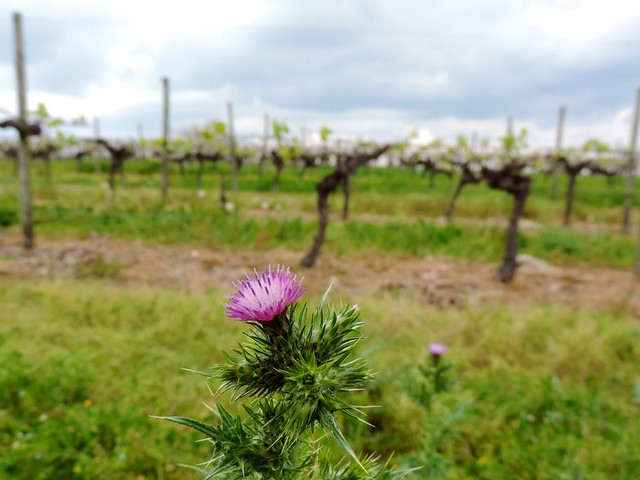 Thistle in the vines