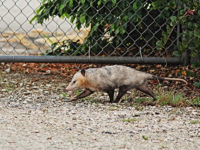 Opossum 20150326