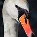 Mute Swan by karen_goltz