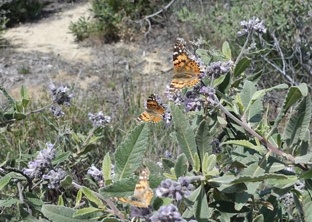 Butterflies on yerba santa, m473