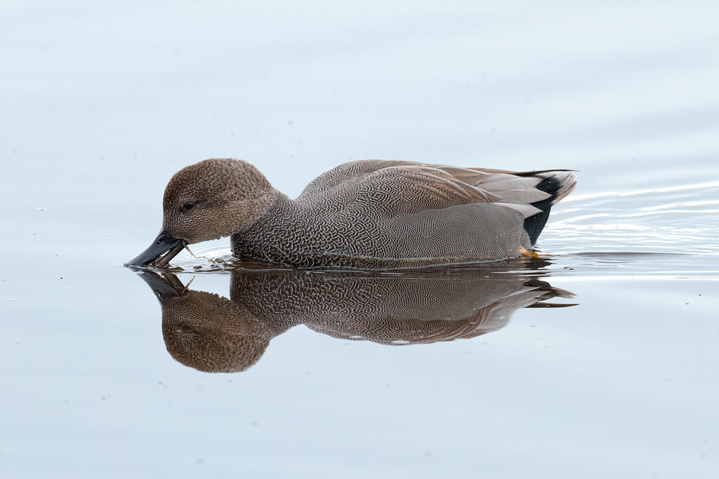 A gadwall takes a drink as he swims across Horse Lake