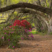 Oak and Azalea Alley at Magnolia Plantation by Lane Rushing