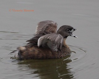 Pied billed grebe yawning