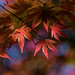 sunlight through the Japanese maple by loco's photos