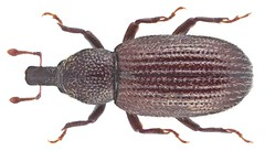 Pselactus spadix (Herbst, 1795)