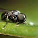 Small big eyed fly Pipunculidae by Lord V