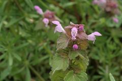 Lamium purpureum - Purpurrote Taubnessel