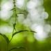 Epipactis muelleri; Geelgroene wespenorchis by Mark Engels, Margraten