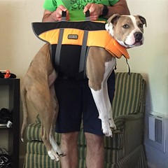 Lola got a new life vest, or maybe a crane attachment. Not quite sure, either way she enjoys it. :dog::ocean: