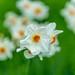 Daffodil by Liping Photo