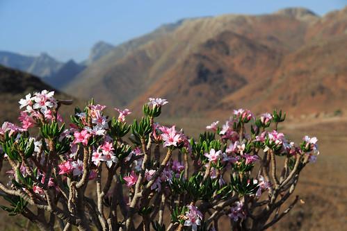 Adenium Socotranum Flowers, Socotra, Yemen