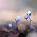 Violets by Raimondas Ka.