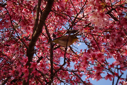 2015/03 長徳寺のおかめ桜