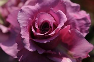 Rose 'Shocking Blue' raised in Germany