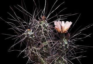 Tephrocactus paedophila_1