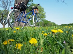 The misunderstood dandelion #30daysofbiking