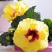 Der Hibiskus ist Pflanze des Monats Mai 2015