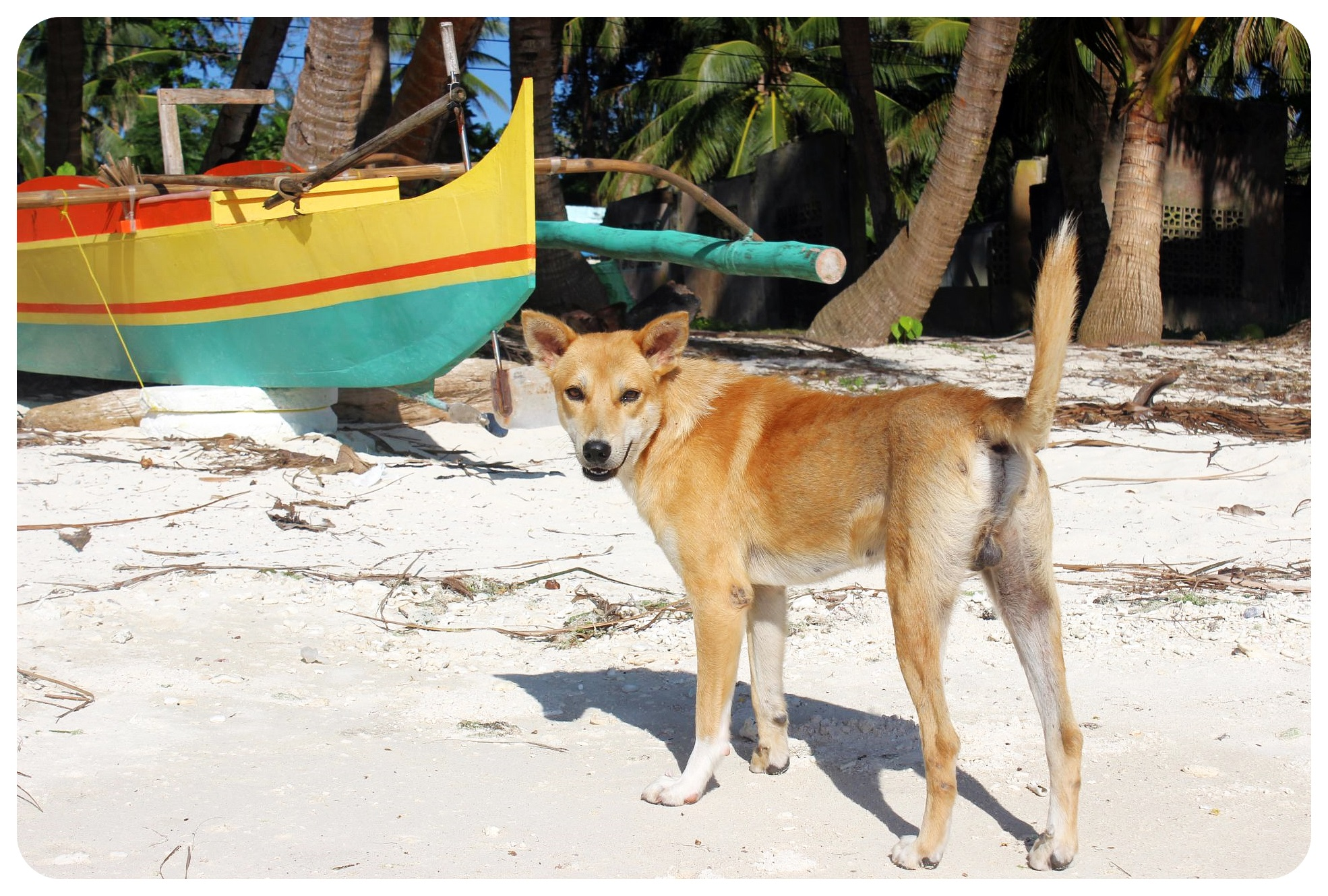 siquijor beach dog