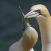 Gannet courtship. by Sandra Standbridge.