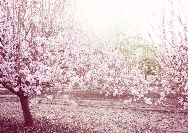 almond_blossom2