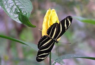 Zebra Longwing on Flower