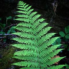 La mia pianta preferita in assoluto, nei boschi dietro casa... #felce #preistoria #verde
