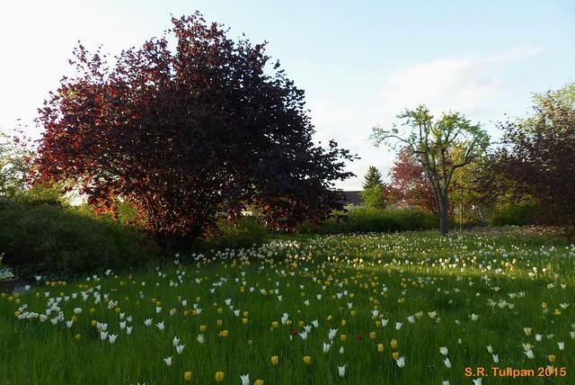 Britzer Garten Tulipan 06.05.2015  145