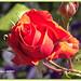 Toro (Zamora) 28 rosa roja.CR2 by ferlomu