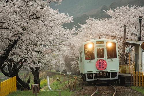 ワンマン桜