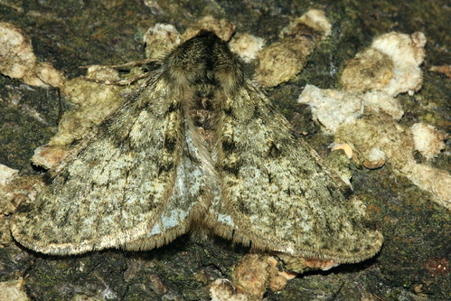 Pale Brindled Beauty 3682