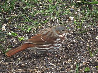 IMG_0797-1 Fox Sparrow