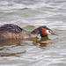 Great Crested Grebe Rutland Water 21-3-15 by Tim Birds