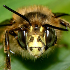 one more bee close-up