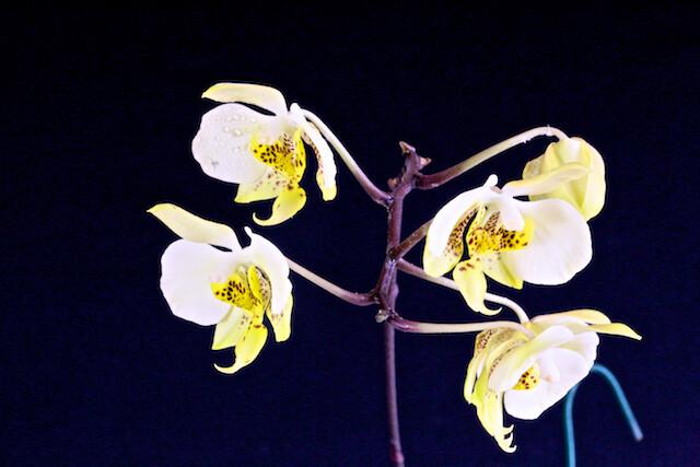 Phalaenopsis stuartiana v.nobilis 16810996451_1c9ccee82d_z