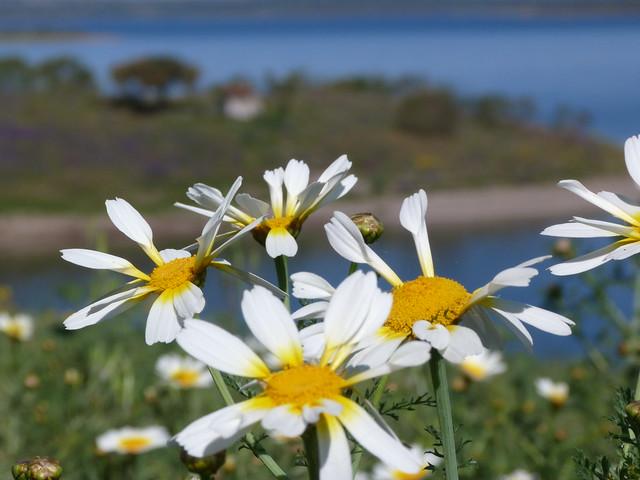 Flores a orillas del Lago Alqueva (Alentejo, Portugal)