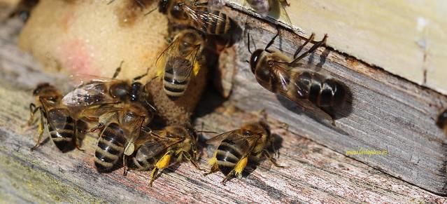Albine si trantor la urdinis