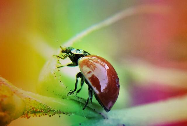 Lomo Ladybug