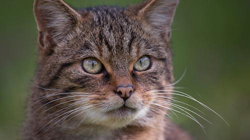 The Scottish Wild Cat