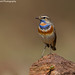 Bluethroat!! by Anupam Dash Photography